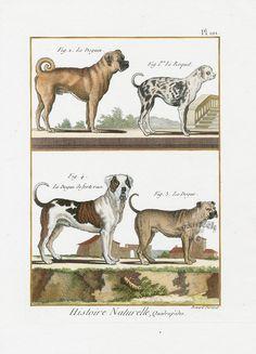 Dogs from Bonnaterre Histoire Naturelle Bird, Monkey, Cat & Dog Prints 1791