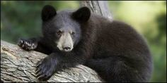 Across North America, black bears have been found with gallbladders removed, paws chopped off, and... (27113 signatures on petition)