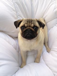 Mr. Pug says: Dis my bed now. You go get your own.