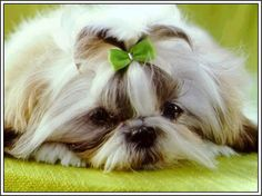 4 Dogs Puppy Puppies Shih Tzu Greeting Notecards/