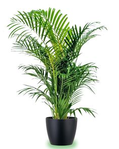 This elegant Kentia #Palm is treasured around the world. Most of our #Kentia are grown in Hawaii and transported to us. #green #plants
