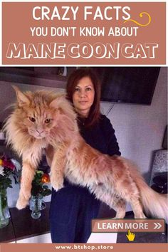 """Because of their sizeable bodies and sociable natures, Maine Coons are known as the """"kind giants"""" of felines. Here are 8 enormous facts about one of the world's largest trained cats. Fun Facts About Cats, Cat Facts, Weird Facts, Norwegian Forest Cat, Maine Coon Cats, Animal Kingdom, Bodies, Kitten, Animals"""