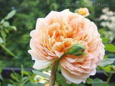 Sześć róż, które musisz mieć w ogrodzie - Ogród pod lasem Topiary, Diy And Crafts, Rose, Celebrities, Flowers, Plants, Gardening, Love, Pink