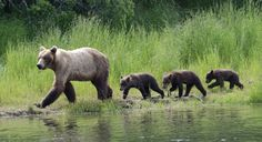 in in Tour: Grizzly Special British Columbia, Vancouver Island, Brown Bear, Baby Animals, Children, Grant Application, Family Quotes, Sayings, Adventure Trips