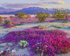 Anza Borrego. This park hasn't experienced a bloom so prolific since at least 1999 according to park officials.