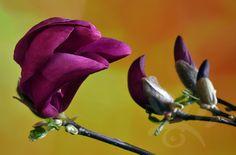Magnolia of Beverboom is een vroeg in het voorjaar bloeiende boom of struik met een rijke bloei met prachtige grote bloemen. http://markrademaker.nl