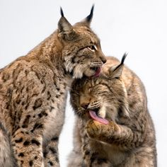 A pair of Boreal lynx groom each other on a rocky hilltop at the Cabarceno wildlife park in Villaescusa, Spain…