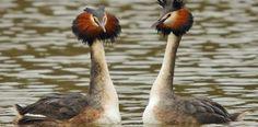 Great Crested Grebe - Steve Waterhouse - Steve Waterhouse