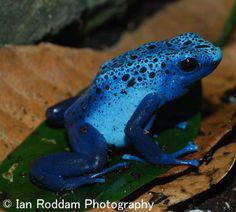 Azure poison dart frog