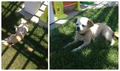 Meet Lulu, our newest Elder Paws senior lady. Lulu is 8 years old and came to us as a Pekinese Chi mix from the San Joaquin Shelter. She is simply adorable! She is totally enjoying being outside in the sunshine at her new foster home. If you are interested in this sweet girl head to our website to fill out an adoption application on this animal friendly girl.  She is located in Fresno, CA.