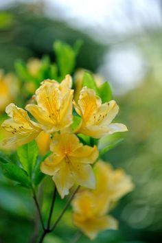 キレンゲツツジ(黄蓮華躑躅) ツツジ科        in my garden       Explore 4 May 2009 #233 学名:Rhododendron japonicum f. flavum
