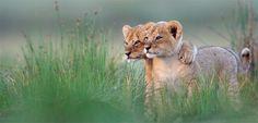 Lion Cubs Foto: 2011, Gregoire Bouguereau