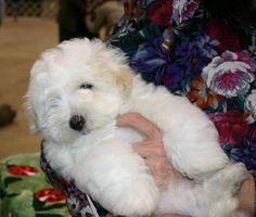 Cotonwind Coton de Tulear Puppies