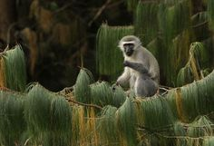Female vervet monkeys manipulate males into fighting battles by lavishing attention on brave soldiers while giving noncombatants the cold shoulder, researchers said on Wednesday.  When the next battle came along, both those singled out for attention and those aggressively shunned would participate more