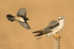 Willie Wagtail (Rhipidura lephucorys) & Black-shouldered Kite (Elanus axillaris) | This is one from a couple of years back. The wagtail is a common small flycatcher here in Australia with a reputation for punching way above its weight :-)