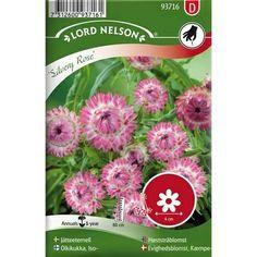 Jätteeternell silvery rose hög rosa