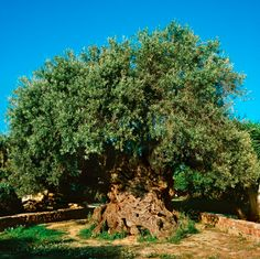 The 'olive tree of Vouves' on Crete which could be the oldest tree in the world, it's estimated to be between 3000 - 5000 years old....and it still produces highly sought after olives!