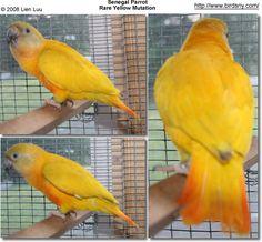 Senegal Parrot - Rare Yellow Mutation
