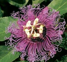 Incense Passion Flower Vine Native to Texas, this spectacular, vigorous growing vine provides a dazzling floral display like no other. Pale purple to white blooms are highlighted with purplish filaments that radiate from the center of the flower. The blooms are fragrant, attracting hummingbirds and butterflies. Yellow fruit develops after the flowers appear. A great, quick cover for fences or trellises.