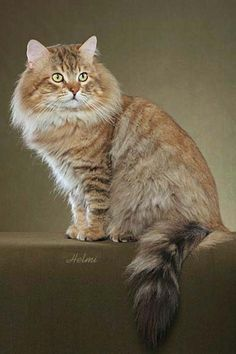 russian forest cat | Siberian Cat | Blog About Cats