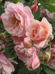 Rose Perfume, Beautiful Pink Roses, Growing Flowers, My Flower, Garden Plants, Landscape Paintings, Projects To Try, Nature, Cottage