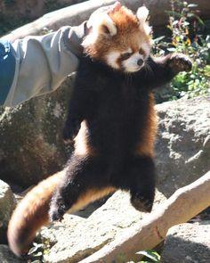 Toi là, arrête de te moquer! :< Bonjour Panda Roux Super Cute Animals, Cute Funny Animals, Cute Baby Animals, My Spirit Animal, My Animal, Nature Animals, Animals And Pets, Red Panda Cute, Funny Looking Cats