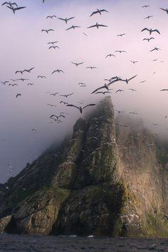 anotic:  Gannets Above Boreray, St. Kilda