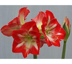 102 Best Flowers Amaryllis Images Beautiful Flowers Exotic