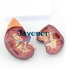 1:1 Human Anatomical Kidney & Adrenal Gland Organ Medical Teaching Model