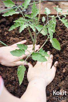Poista mullan alle jäävät lehdet. Tomaatin voi istuttaa syvempään, jopa vinoon.   Tomaatin istutus kasvupaikalle on ajankohtaista, kun e...
