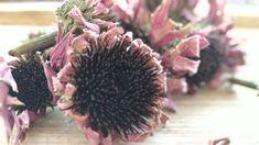 ECHINACEA 15g - Dried herb - (Echinacea purpurea) Tea Flower Tea, Hibiscus Flowers, Drying Herbs, Calendula, Roots, Herbalism, Dandelion, Plants, How To Make