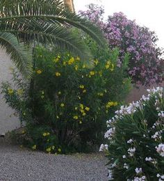 Easy Desert Plants: Yellow Bells / Trumpet Bush