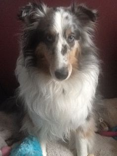 https://flic.kr/p/21PsR9K   Tilly   Tilly is our beautiful blue Merle Sheltie who is just a little over 3 yrs. old.  Tilly loves playing outside in the snow & even loves to eat the snow!  Tilly loves going for long walks, playing ball outside & enjoys a good game of tug-a-war inside. Tilly also enjoys playing with children & tries herding them in a circle as it is part of her instincts.