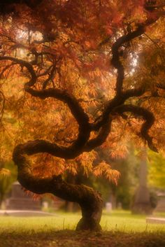 Japanese-Maple-20.jpg (534×800)