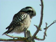 A Northern hawk owl (Surnia ulula) in Manitoba, Canada. The hawk owl gets its name from its relatively flat head, long tail, hawklike flight pattern and its daytime hunting.