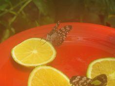 Butterflies having breakfast/ Las mariposas desayunando.