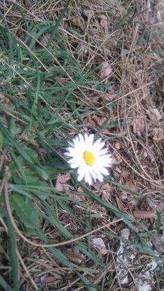 #papatya #daisy #nature #flower