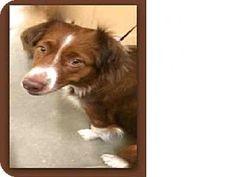 Frisco, CO - Australian Shepherd Mix. Meet NUTMUG, a dog for adoption. http://www.adoptapet.com/pet/14489176-frisco-colorado-australian-shepherd-mix