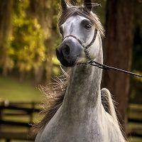 PAVOROTTO KA  (QR Marc x Palanga) 2010 Purebred Grey Stallion