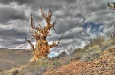 ブリストルコーンパイン 「死ぬまでに見たい 世界の気になる巨木・奇木 16」 トリップアドバイザー
