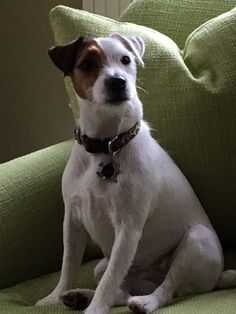 Show your support for Georgia Jack Russell Rescue, Adoption & Sanctuary by voting for PINKY in the For the Love of Dogs Calendar Contest