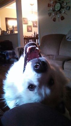 Miya (Great Pyrenees) looking over her back! Such a funny girl. #greatpyrenees