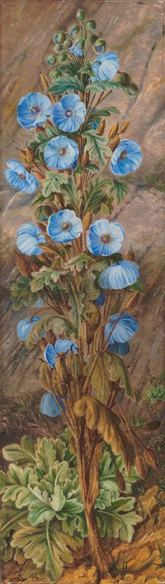 252. Blue Poppy growing on Mt. Tonglo, Sikkim-Himalaya.  Artist:  Marianne North  © The Trustees of the Royal Botanic Gardens, Kew