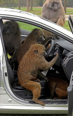 Some very cheeky monkeys appear to be destroying a car but actually these baboons have been asked to assess the Hyundai's durability during a manufacturer's test at Knowsley Safari ParkPhotograph: Reuters