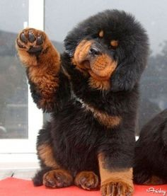 All This Tibetan Mastiff Puppy Wants To Do Is Shake Hands With You
