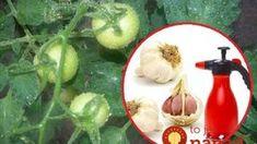 Cesnak je pre rajčiny hotovým zázrakom: Stačí poznať túto radu a už nikdy sa nebudete báť o svoju úrodu!