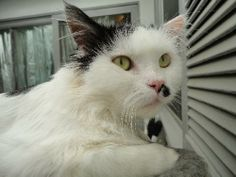 Cat ready for adoption: Domestic Long Hair / Mixed (medium coat) named Mr. Black Dot in Toluca Lake, CA