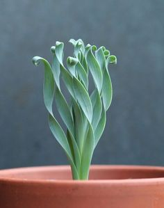 wishlist: Albuca concordiana - garden and plants - . - wishlist: Albuca concordiana – garden and plants – - Unusual Plants, Cool Plants, Air Plants, Garden Plants, Indoor Plants, Foliage Plants, Hanging Plants, Veg Garden, Shade Plants