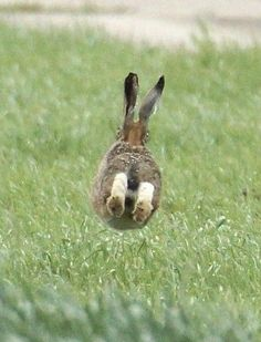 Hare by side of farm track bend with both eyes visible from the rear Wild Rabbit, Bunny Rabbit, Animals And Pets, Baby Animals, Cute Animals, Beautiful Creatures, Animals Beautiful, Hare Images, Wild Life