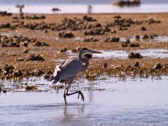 Great Blue Heron - South Padre Island, TX 12/28/11